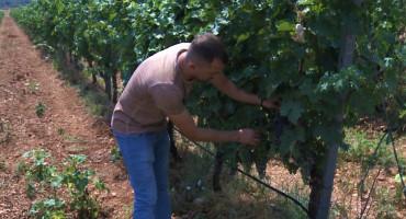 Velike vrućine idu na ruku vinogradarima u Hercegovini