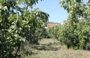 Rođaci iz Čitluka imaju gotovo 500 stabala smokava