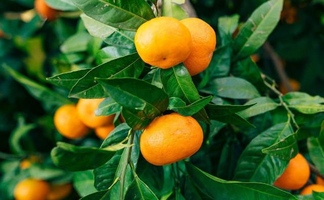 STVAR BI MOGLI SPASITI HERCEGOVCI Tko će brati mandarine u dolini Neretve?