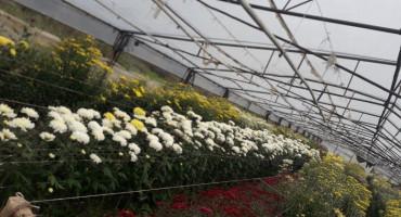 Cvijeće u Čapljini odlične kvalitete, sve je tempirano za blagdan Svih Svetih